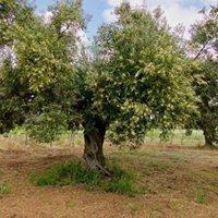 Menfi olivenlunden